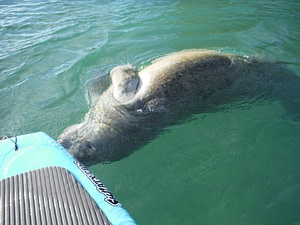 Paddle Board with Manatees in Crystal River Florida