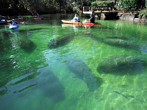 Paddle Board & Kayak with Manatees at Weeki Wachee Springs State Park