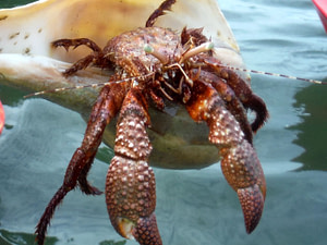 Red hermit crab discovered on a kayak guided eco tour in Englewood Florida