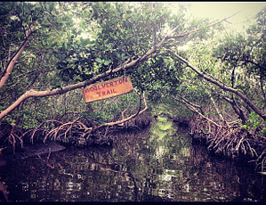 Mangrove tunnel guided paddleboard tour