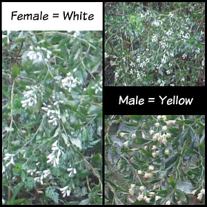 Example of Male and Female Salt Bush