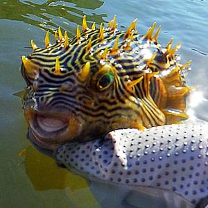 The eco tour guide found a puffer fish on a paddle board and kayak tour in Englewood Florida