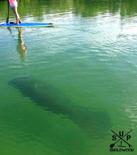 Paddle Board Tours with Manatees
