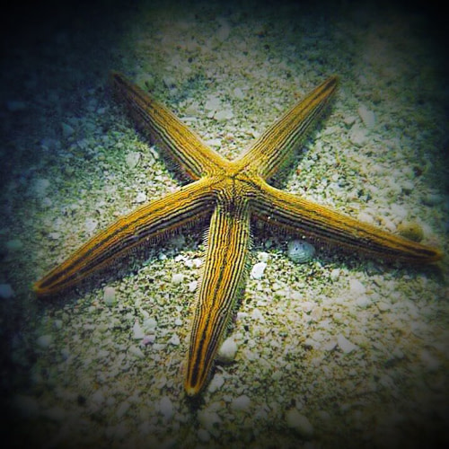 Lined Sea Star discovered as it burrowed into the sand by a paddle board tour guide.