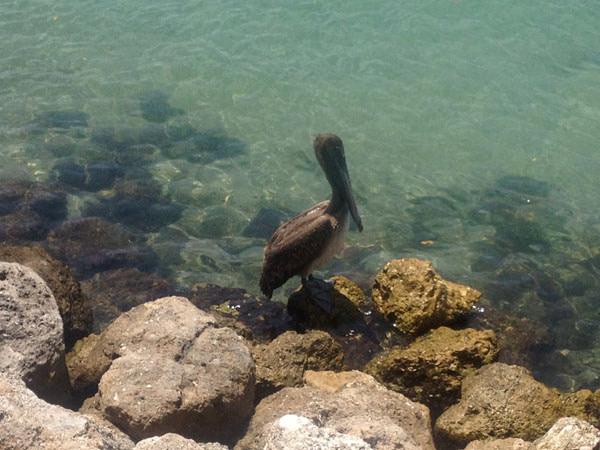 Native Florida Brown Pelican