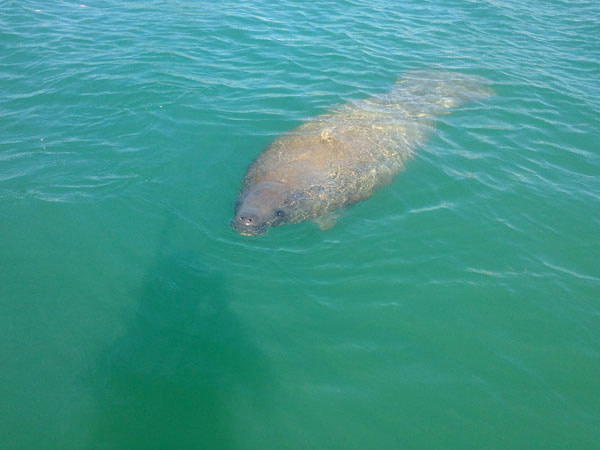 Paddle with manatees in Englewood
